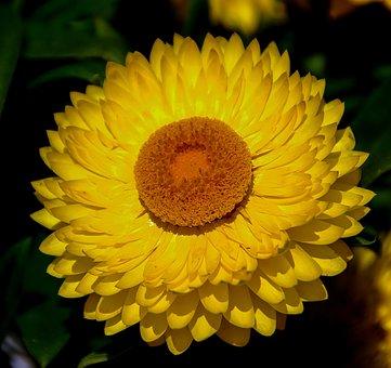 Paper Daisy, Everlasting, Flower, Yellow, Orange