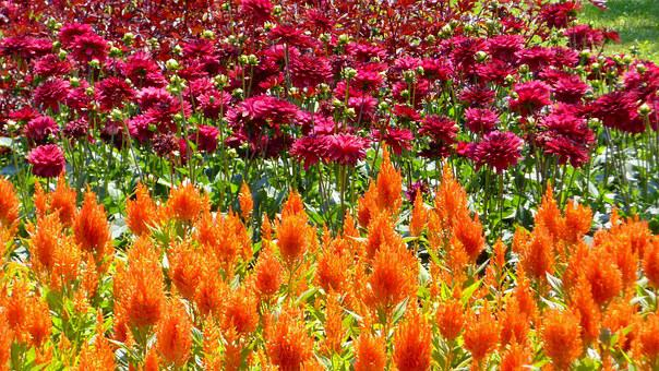 Paprikavirág, Dahlia, Ornamental Plants, Flower Garden