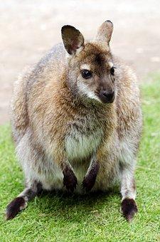 Australia, Park, Kangaroo, Australian, Native, National