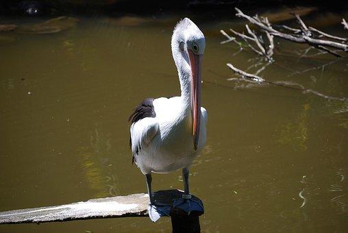 Pelican, Bird, Wild Life, Lake, Australia, Nature