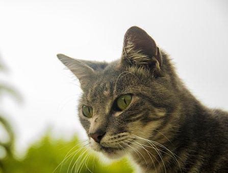 Cat, Uruguay, Montevideo, Gray Skin, Pet, Outdoors