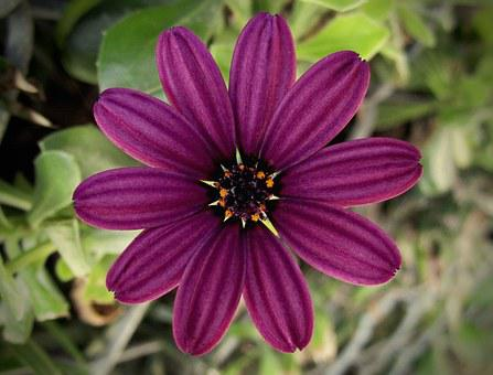Flower, Petals, Pollen, Purple, Burgundy, Nature