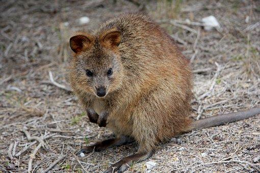 Quokka, Setonix Brachyurus, Australia