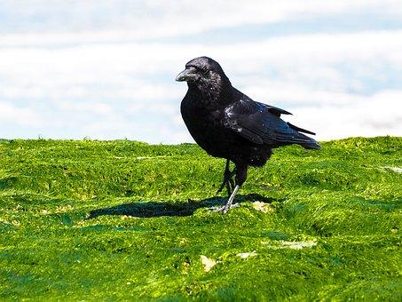 Raven, Bird, Sea, Water Surface, Mood, Crow, Water