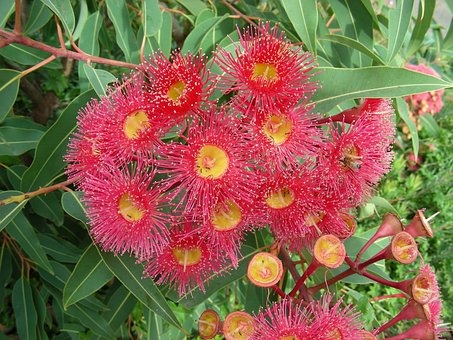 Red Gum Flowers, Red Gum, Gum, Flowers, Bush Flowers