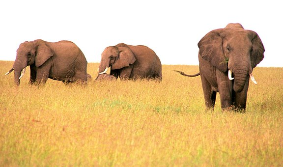 Elephant, Africa, Wildlife, Nature, Wild, Safari
