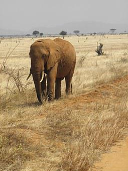 Elephant, Wild, Kenya, Wildlife, Nature, Animal, Safari