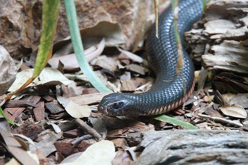Snake, Inland Taipan, Animal, Threatening, Animal World