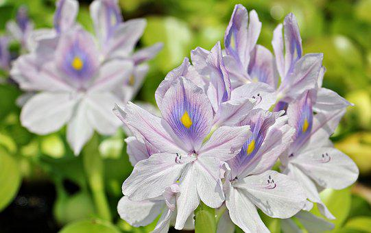 Water Hyacinth, Flowers, Nature, Plant, Summer