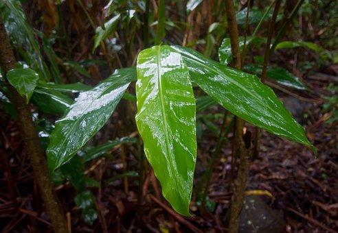 Native Ginger, Leaves, Wet, Shiny, Rainforest, Rain