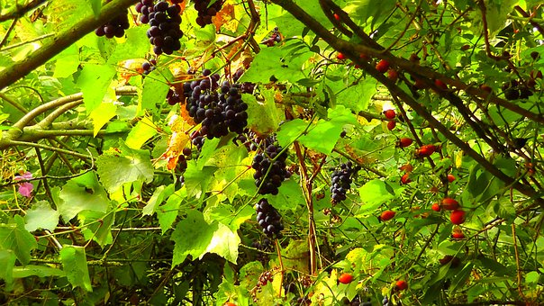 Wild Grapes, Rose Hip, Sweet, Red Grapes, Grapes