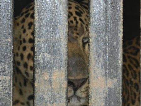 Leopard, Caged, Animal, Wildlife, Endangered, Carnivore