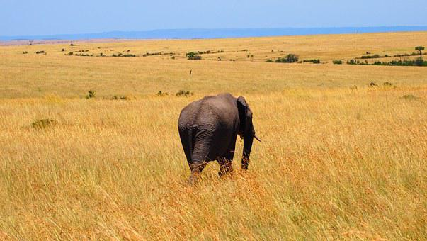 Elephant, Kenya, Africa, Wild, Nature, Safari, Wildlife