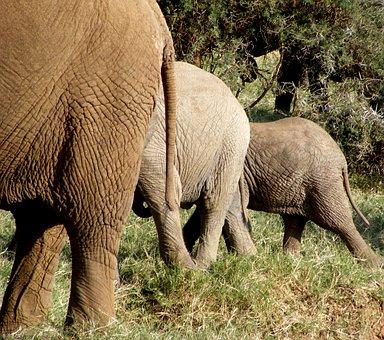 Elephants, Wildlife, Nature, Wild, Animal, Safari