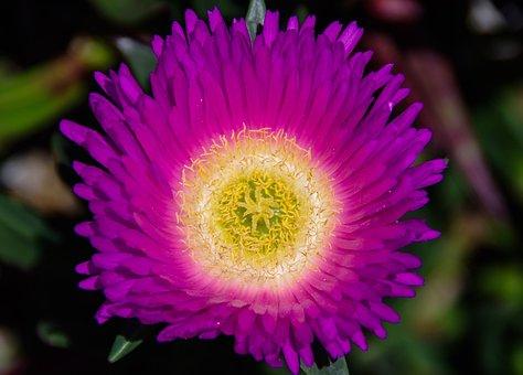 Pigface, Flower, Purple, Yellow, Bright, Groundcover