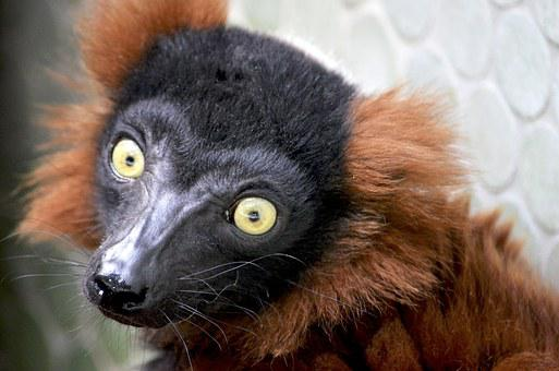 Red Maki, Lemur, Primates, Ape, Madagascar, Eyes