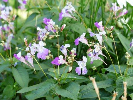 Balfour Jewelweed, Impatiens Balfourii, Flower, Blossom