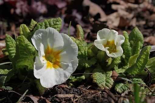 Primrose, White, Leaves, Leaf, Beautiful, Blossom