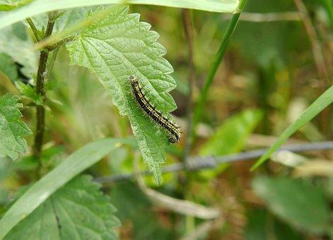 Caterpillar, Stinging Nettle, Hairy, Butterfly