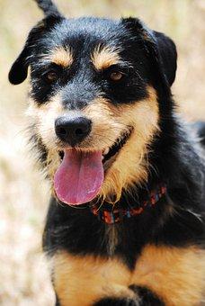 Dog, Animal, Hybrid, Schnauzer, Black, Brun