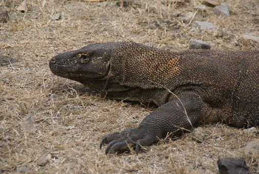 Asia, Indonesia, Komodo, Monitor Lizard, Dragon