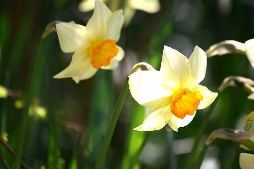 Pentecost Lilies, Daffodils, Easter, Bulbs, Flowers