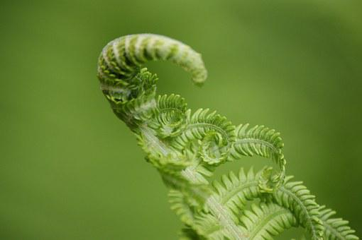 Fern, Green, Plant, Nature, Fiddlehead, Forest