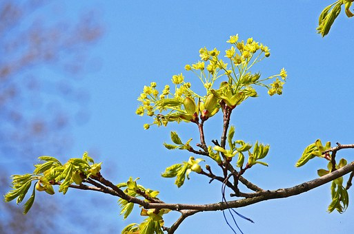 Maple, Flowers, Branch, Foliation, Spring, Yellow Green