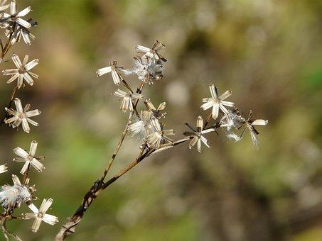 Seeds, Fuchssches Greiskraut, Senecio Ovatus