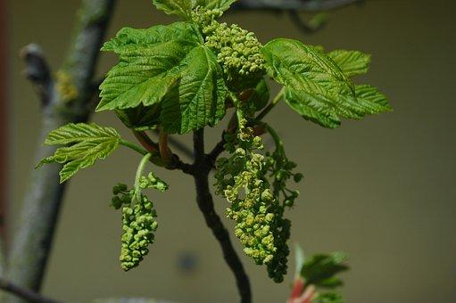 Maple, Blossom, Bloom, Leaves, Bud, Green, Nature