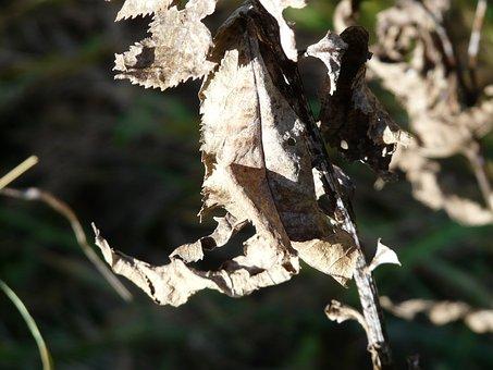 Leaf, Withered, Dry, Fuchssches Greiskraut