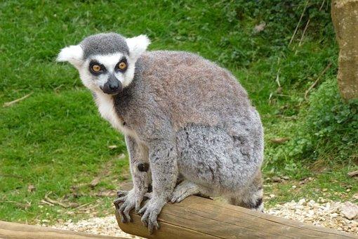Cotswold, Lemur, Uk