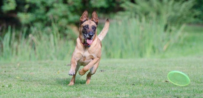 Running Dog, Frisbee, Malinois, Belgian Shepherd Dog