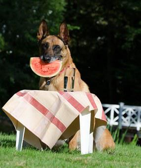 Dog Trick, Dog Shows A Trick, Malinois