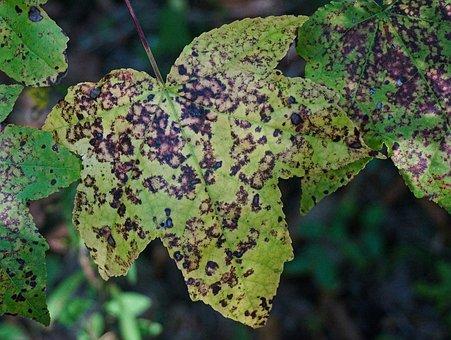Leaf Patterns, Maple Leaf, Maple Tree, Tree, Plant