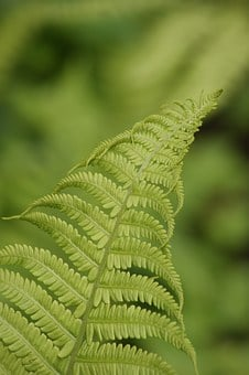 Fern, Green, Young Leaves, Nature, Plant, Spring