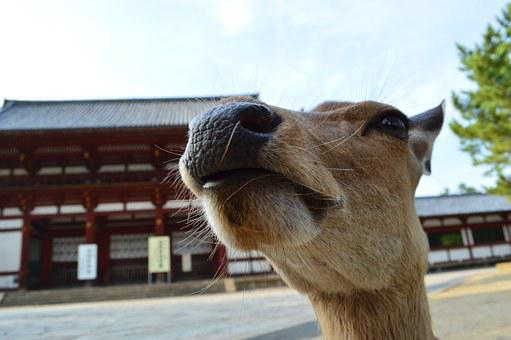 Nose, Japan, Temple, Animal, Funny Face, Animal Face
