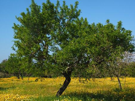 Olive Tree, Olive Grove, Flower Meadow