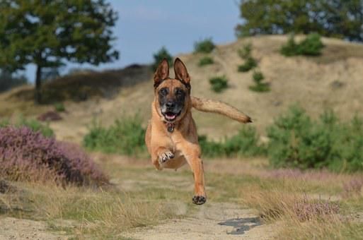 Malinois, Jump, Powerful, Summer, Belgian Shepherd Dog