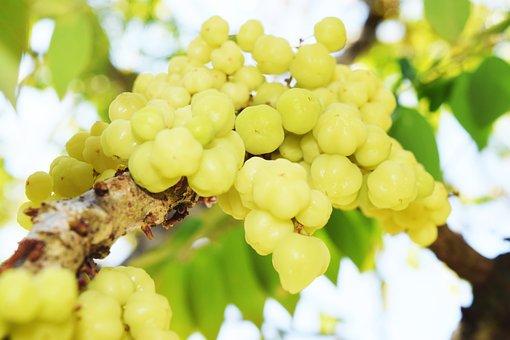 Phyllanthus Acidus, Star Gooseberry, Fruit