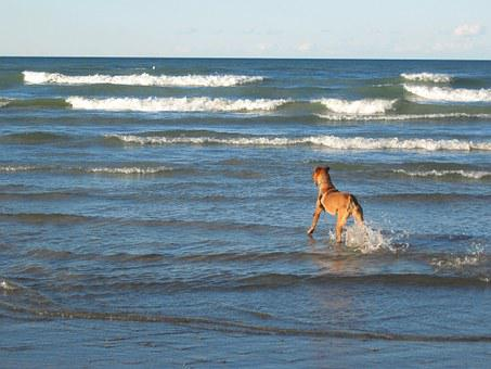 Dog, Beach, Waves, Water, Blue, Coast, Lake Michigan