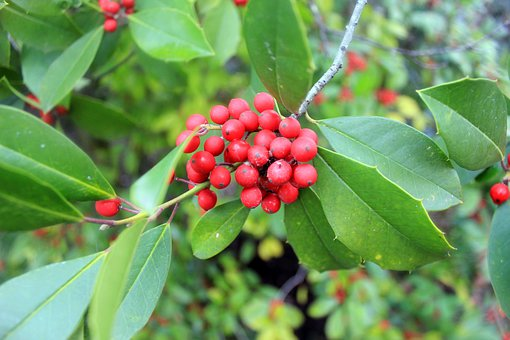 Holly, Berries, Ilex, Plant, Natural, Botanical