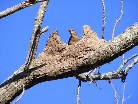 Bird, Rufous Hornero, Nest, Mud, Sky, Blue, Brown, Ave