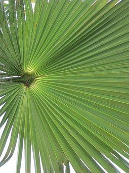 California Washingtonpalme, Palm Fronds, Palm