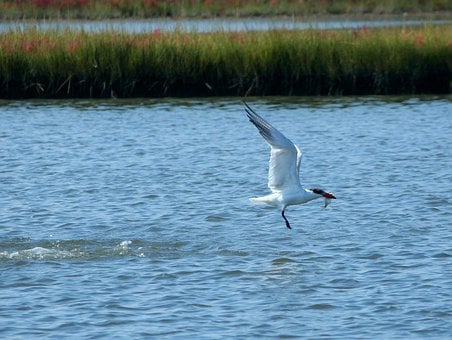 Tern, Fishing, Fish, Eat, Fly, Waterfowl, Aquatic Bird