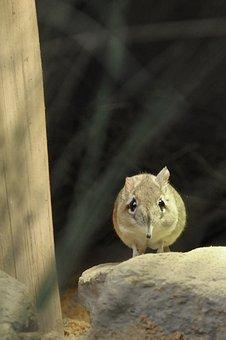 Mouse, Elephant Mouse, Short Proboscis Springer Ear