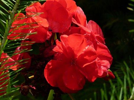Flower, Geranium, Garden, Nature, Floral, Blossom