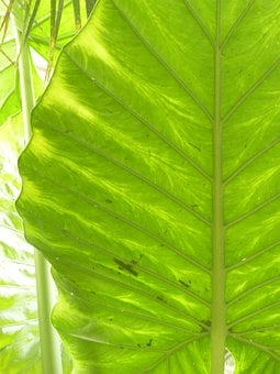 Leaf, Large, Green, Translucent, Elephant Leaf
