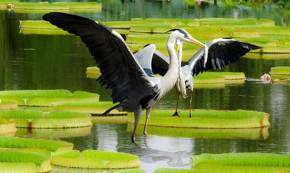 Heron, Lotus, Leaf, Pond, Aquatic Plant, Bird, Fish