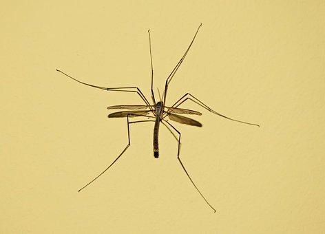 Komar, Insect, Blood, Nature, Macro, Komarnica, Wings